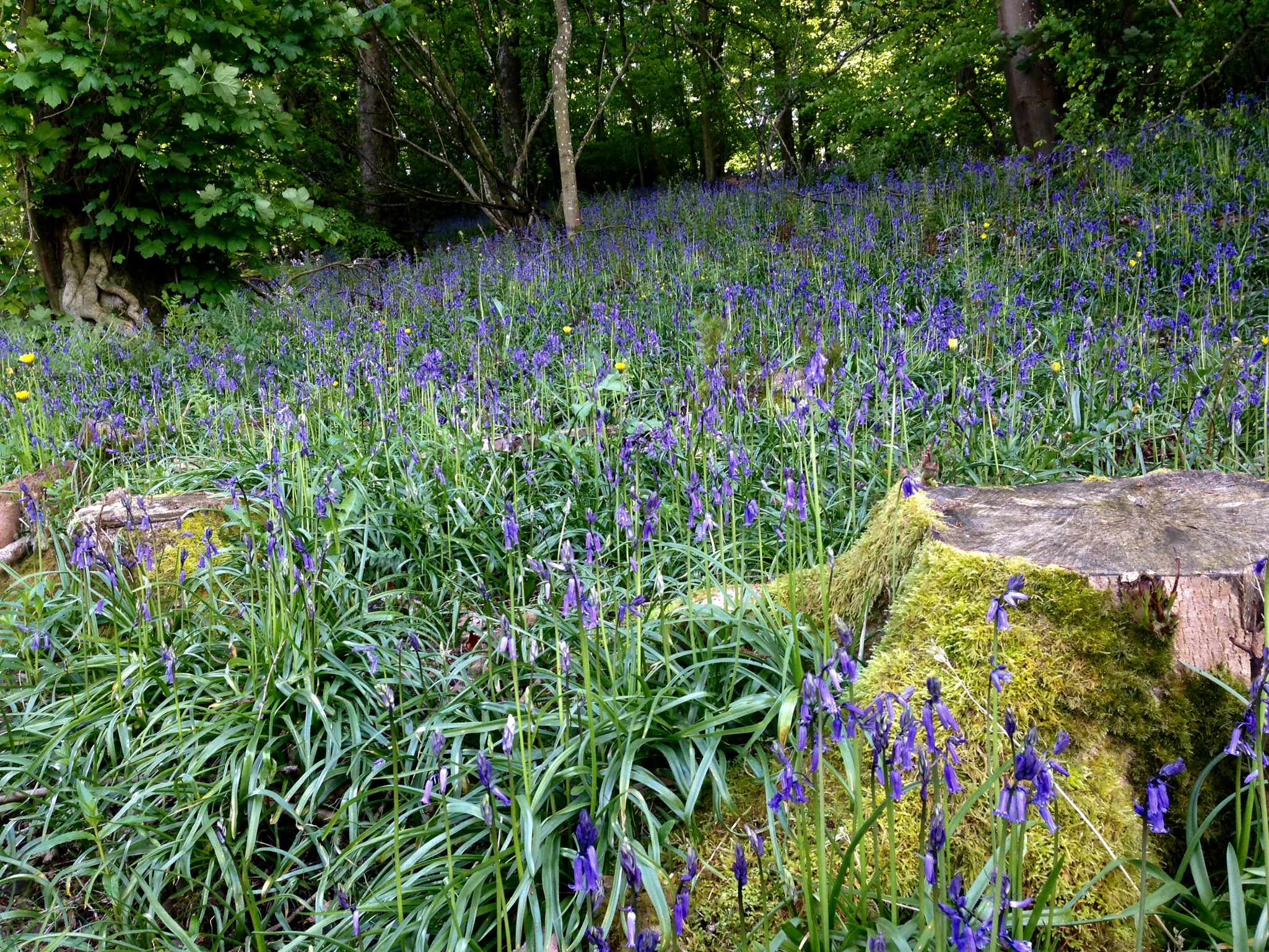 Hurst Bluebells Shropshire Creative Writing Course centre